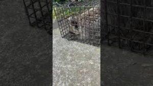 アライグマが罠かごを食い破ろうとする様子をカメラでとらえました。