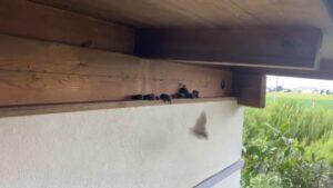 【無限コウモリ】軒下から次々と湧き出てくる様子を撮影しました!